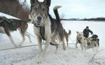 Alaska,USA.Iditarod.dog siedge run 1500 km.jpg